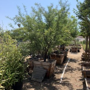 """Mesquite Tree, Drought Tolerant Fast Growing Shade Tree 36"""" Box for Sale in Highland, CA"""