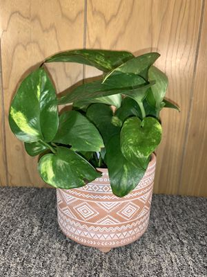 Variegated Golden Pothos Houseplant in Patterned Terra Cotta Pot for Sale in Los Angeles, CA