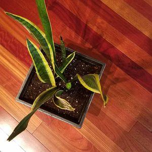 Snake Plant (Dracaena Trifasciata) for Sale in Laurel, MD