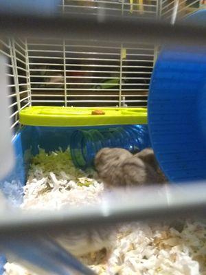 5 hamsters bb rusos con todo y jaula for Sale in Gardena, CA