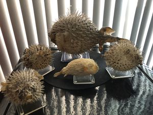VINTAGE BLOWFISH 🐡 TAXIDERMY ODDITIES NAUTICAL OCEAN BEACH THEMED PERFECT FOR YOUR TIKI ROOM DECOR for Sale in Tempe, AZ