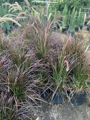 5 gallon Purple Fountain Grass for Sale in Chino, CA