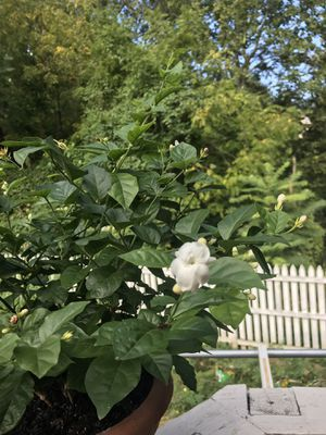 Jasmine plant for Sale in Falls Church, VA