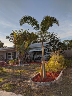 10 to 12 foot high foxtail palms! for Sale in Tarpon Springs, FL