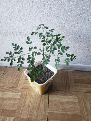 Moringa plant for Sale in Los Angeles, CA