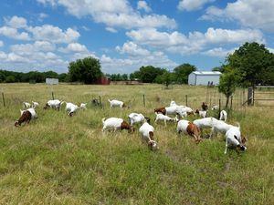 Boer Goats ***7 Does, 8 Kids*** for Sale in Forney, TX