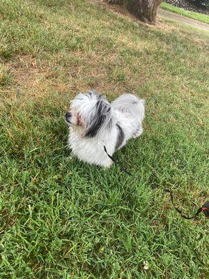 Dog for Sale in Hendersonville, TN
