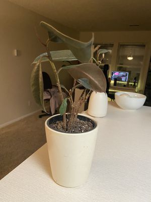 Small burgundy rubber tree plant for Sale in Colorado Springs, CO