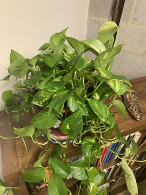 Pothos plant for Sale in Silver Spring, MD