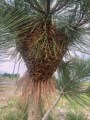 Free bee swarm removal 40 reward for Sale in Pasco, WA