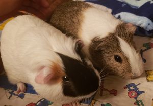 2 male guinea pigs with accessories for Sale in PLEASURE RDGE, KY