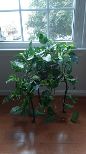 Live plant in decorative vase for Sale in Germantown, MD