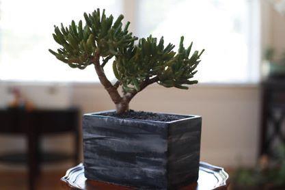 Succulent Tree-5yo