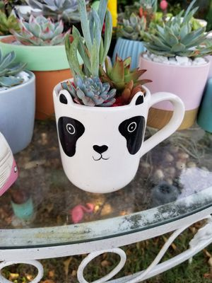 Panda Succulent for Sale in City of Industry, CA