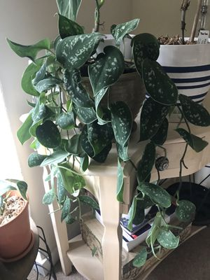 Large pathos scindapsus. for Sale in Hillsboro, OR