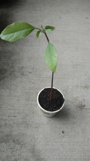 Avacado plant for Sale in Houston, TX
