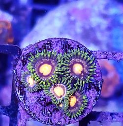 Zoa Frag Wysiwyg for Sale in Norco,  CA