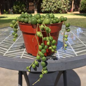 String of Pearls Succulent for Sale in Dinuba, CA