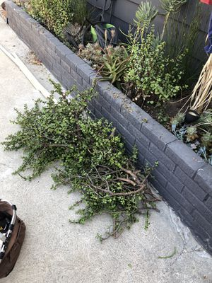 Free succulent cuttings for Sale in Los Angeles, CA