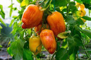 Organic yellow fire tomato plants for Sale in Aurora, CO