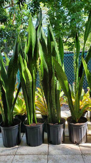 3-4 feet tall SNAKE PLANTs. $20 each for Sale in Deerfield Beach, FL