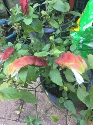 Beautiful Shrimp Plant Rooted Babies for Sale in Kissimmee, FL