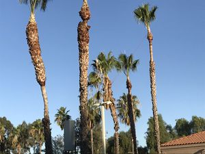 Tree 🌳 trimming tree 🌲 removals palm tree trimming &removal 🌴 for Sale in El Monte, CA