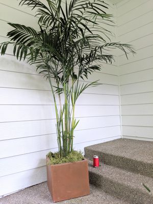 Bamboo Palm Plants in Square Concrete Stone Planter Pot - Real Indoor House Plant for Sale in Auburn, WA