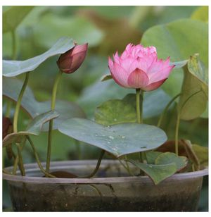 Bonsai Water Lotuses and Lilies - Water Garden for Sale in Novato, CA