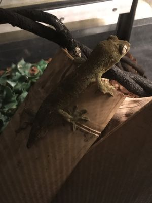 Reptile gecko for Sale in National City, CA
