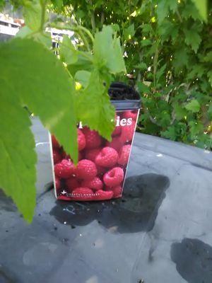 Raspberry vines for Sale in Fresno, CA