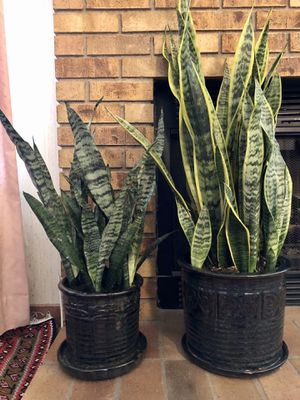 """Se of 2 Live """"Snake"""" plants (40"""" & 27"""" tall) in beautiful contemporary 10"""" & 8"""" ceramic pots for Sale in Las Vegas, NV"""