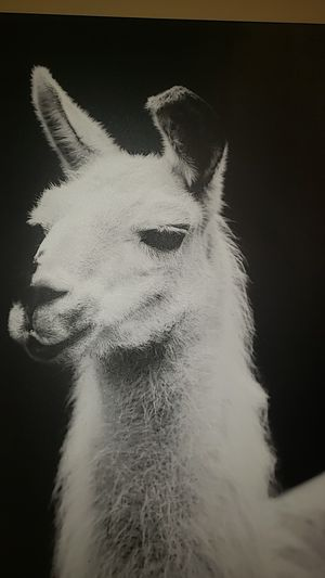 Llama poster for Sale in Normal, IL