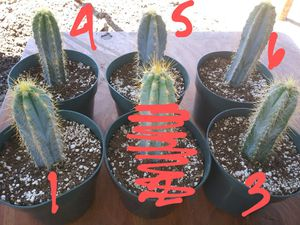 "6"" Blue Torch Cactus for Sale in Whittier, CA"