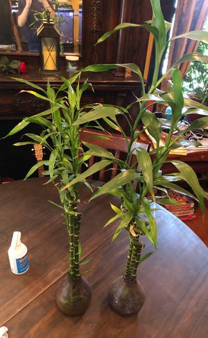 Pair of Bamboo Plants for Sale in St. Louis, MO
