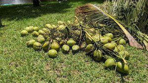 .50 Coconuts! Freshly cut 5/28/20 for Sale in Tamarac, FL