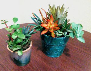 Potted Succulents for Sale in Mesa, AZ