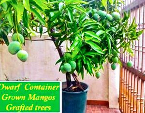 Dwarf grafted mangos arboles de mango enano injertado for Sale in West Palm Beach, FL