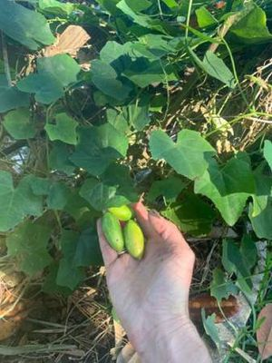 Tindora aka Tropical Cucumber (perennial) for Sale in Jacksonville, FL