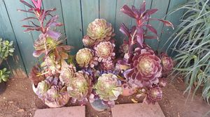Succulent plant for Sale in Los Angeles, CA