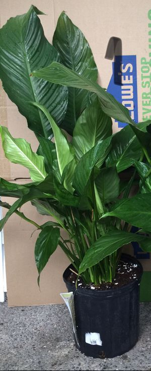Giant Peace Lily. Live indoor house plants in 2 gallon pot for Sale in Auburn, WA