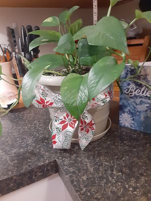 $20!!! LIVE Pothos House Plant!! Fast growing easy to care for! for Sale in Tacoma, WA