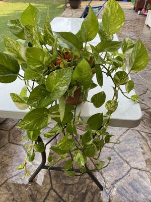 Golden Pothos plant for Sale in Dallas, TX