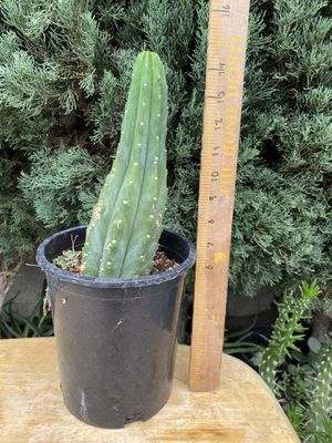 San Pedro cactus for Sale in Westminster, CA