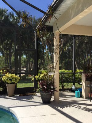9' well established potted plant for Sale in Bradenton, FL