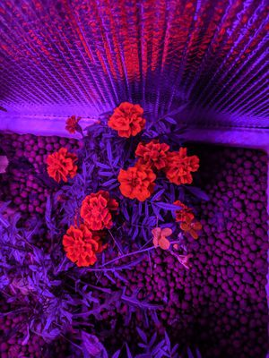 Marigold flowers for Sale in Avon Lake, OH