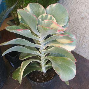 Rare VariegatedKalanchoe Flapjack / Paddle Plant Succulent for Sale in San Bernardino, CA