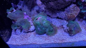 Coral Frags. 1, 3 and 5 heads. Ask for price for Sale in Miami, FL