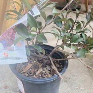 Indian Hawthorne Bailarina Plant for Sale in Huntington Beach, CA
