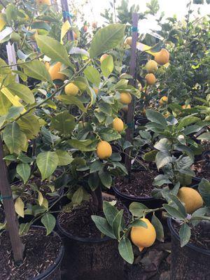 FRUITING AGE CITRUS TREES- KUMQUAT- LEMON- POMELO- ORANGE- LIME- TANGERINE- 5 GALLON for Sale in Corona, CA